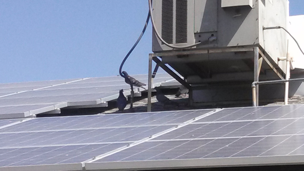 Pigeons on solar panels