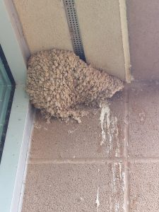 Mud swallow nest with feces