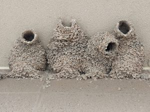 Close up group of Mud Swallow